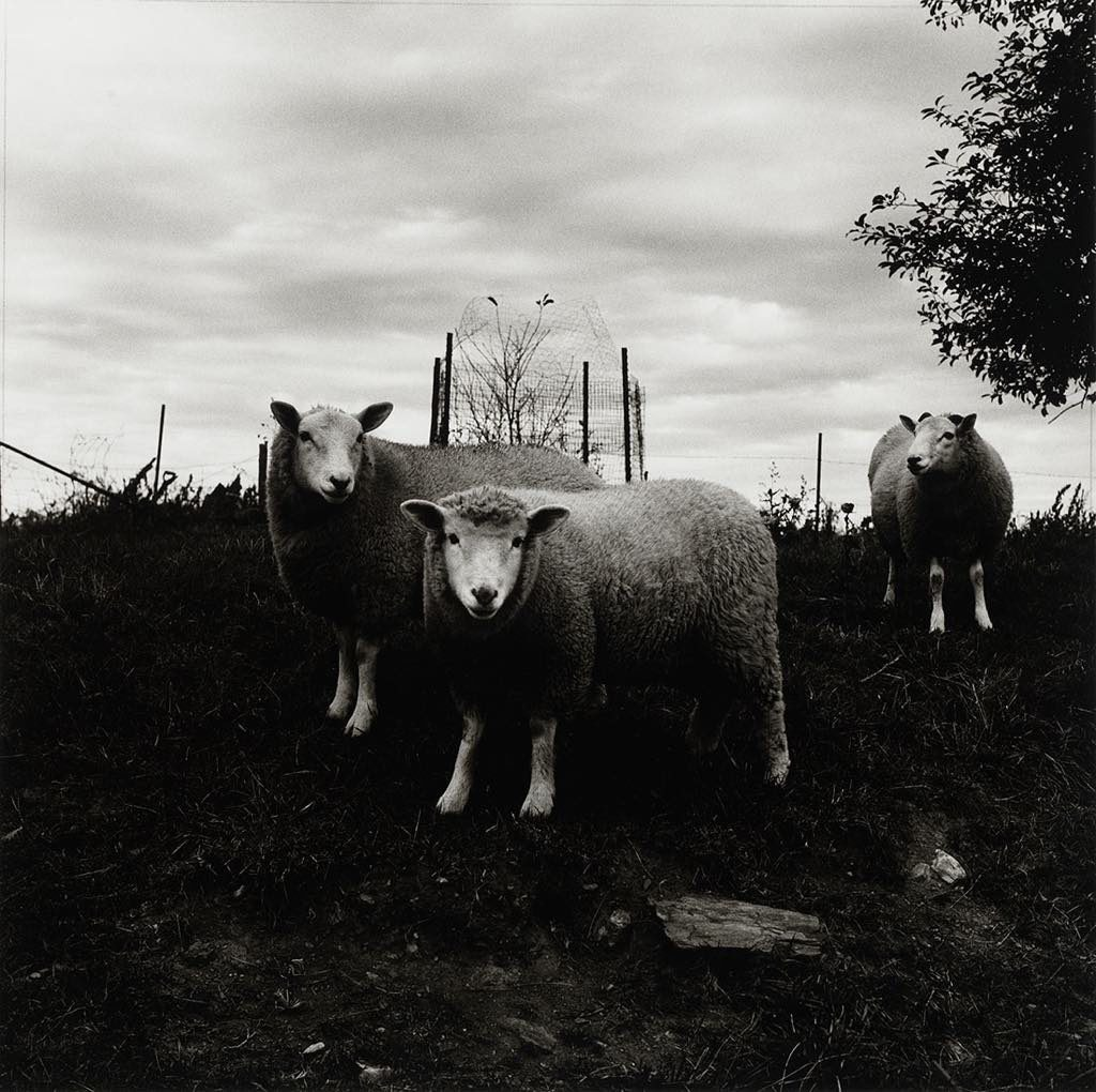 """Sheep, Pennsylvania, 1969."" © Peter Hujar Archive, LLC, courtesy Pace/MacGill Gallery, New York and Fraenkel Gallery, San Francisco"
