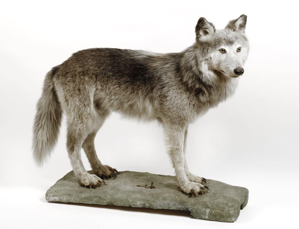 A taxidermy gray wolf (Canis lupus, Linnaeus) (1756). © Photo Musées de Strasbourg, M. Bertola