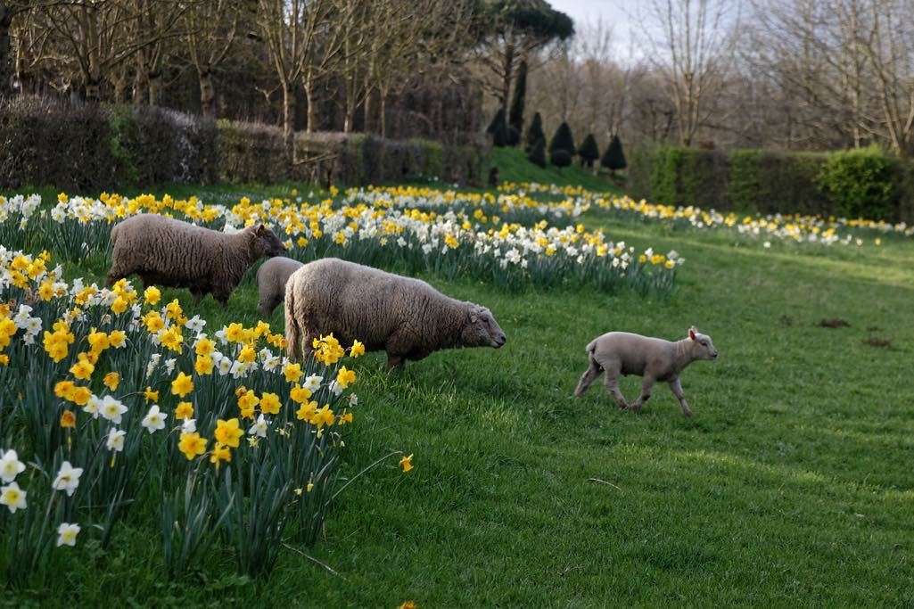 Sheep running free in William Christie's Thiré Gardens in France's Vendée department.